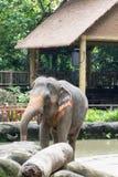 Asiatisk elefant ett mycket enormt djur Royaltyfri Fotografi