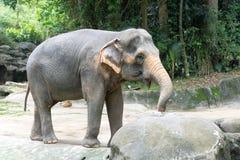 Asiatisk elefant ett mycket enormt djur Arkivbild