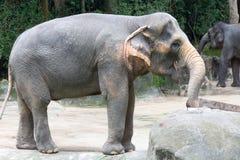 Asiatisk elefant ett mycket enormt djur Royaltyfria Bilder