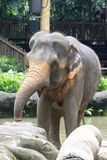 Asiatisk elefant ett mycket enormt djur Arkivbilder