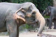 Asiatisk elefant ett mycket enormt djur Arkivfoton