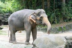Asiatisk elefant ett mycket enormt djur Arkivfoto
