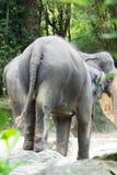 Asiatisk elefant ett mycket enormt djur Royaltyfri Bild