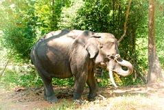 Asiatisk elefant i Burma Arkivbild