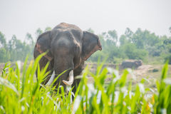 Asiatisk elefant i skogen, surin, Thailand Arkivfoton