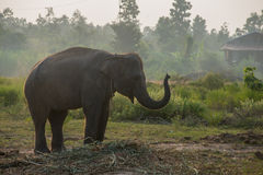 Asiatisk elefant i skogen, surin, Thailand Royaltyfria Foton