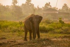 Asiatisk elefant i skogen, surin, Thailand Arkivfoto