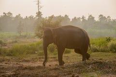 Asiatisk elefant i skogen, surin, Thailand Fotografering för Bildbyråer