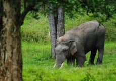 Asiatisk elefant Musth Tuker Arkivfoton