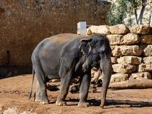 Asiatisk elefant på zoo Arkivbild