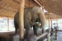 Asiatisk elefant som äter gräs Arkivbilder