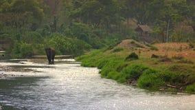 asiatisk elefant som 4K går i floden av den tropiska skogen nordliga Thailand stock video