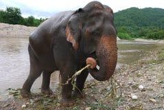 Asiatisk elefant som matar vid floden Arkivfoto