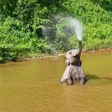 Asiatisk elefant som spelar i floden Arkivbild