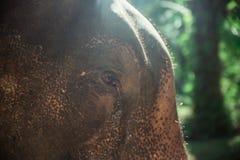 asiatisk elefant thailand Royaltyfri Fotografi