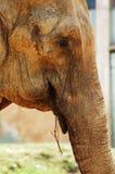 asiatisk elefantmatning Arkivbild