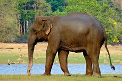 asiatisk elefantmatning Royaltyfri Bild