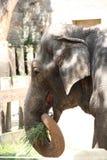 asiatisk elefantmatning royaltyfri fotografi
