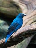 Asiatisk fe-blåsångare (Irenapuellaen) Royaltyfria Bilder