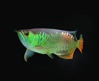 asiatisk fisk för arowana Arkivbild