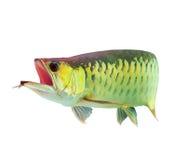 asiatisk fisk för arowana Arkivbilder