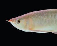 asiatisk fisk för arowana Arkivfoton
