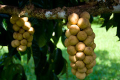Asiatisk frukt. Fotografering för Bildbyråer