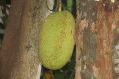 Asiatisk frukt med ett sällsynt namn av brödfrukt Royaltyfria Bilder