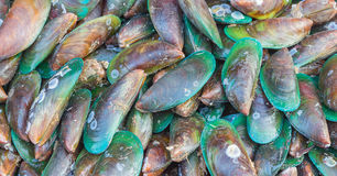 Asiatisk grön mussla Fotografering för Bildbyråer