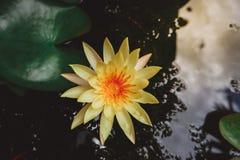 Asiatisk gul lotusblommablomma i dammet royaltyfri fotografi