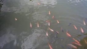 Asiatisk guldfisk Koi lager videofilmer