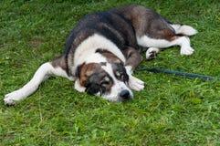 Asiatisk herdehund som sover på gräset Arkivfoton