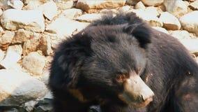 Asiatisk Himalayan svart björn arkivfilmer