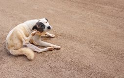 Asiatisk hund som sitter och skrapar hans öra på sandgolvbakgrund royaltyfria bilder