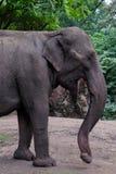 Asiatisk indisk elefant Fotografering för Bildbyråer