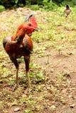 asiatisk inhemsk fjäderfä general Fotografering för Bildbyråer