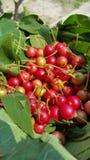 Asiatisk körsbärsröd frukt Arkivbilder