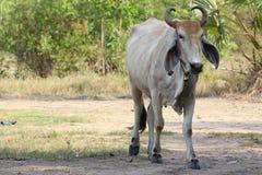 Asiatisk ko på land Arkivbild