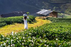 Asiatisk kvinna som bär Vietnam kultur som är traditionell i fält för grönt te arkivfoto