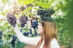 Asiatisk kvinnavinproducent som kontrollerar druvor i vingård arkivfoton