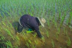 Asiatisk kvinnlig bonde som planterar ris i fält arkivfoto