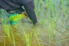 Asiatisk kvinnlig bonde som planterar ris i fält arkivfoton