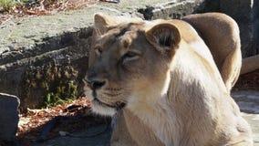 Asiatisk lejoninnaPantheraleo persica arkivfilmer