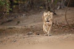 Asiatisk lejonkvinnlig i naturlivsmiljön i den Gir nationalparken i Indien Arkivfoto