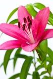 Asiatisk lilja Arkivbilder