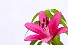Asiatisk lilja Royaltyfri Fotografi