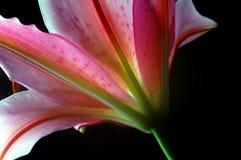 asiatisk lilja arkivbild