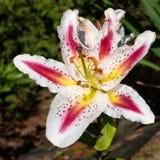 Asiatisk lilja, asiatic Lilium arkivfoto