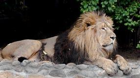 asiatisk lion Arkivfoton