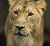 asiatisk lioness Royaltyfria Bilder